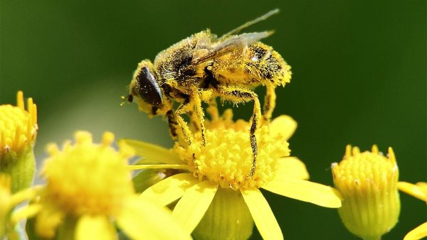 pollens bees